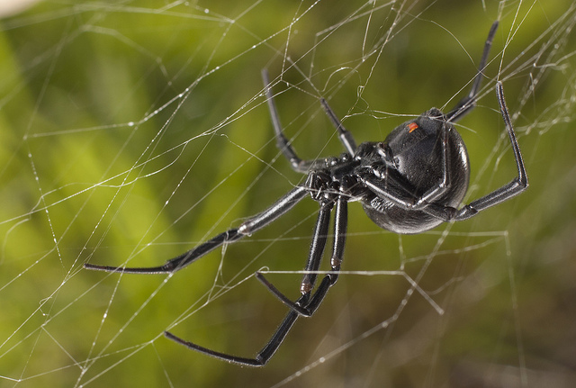 a review of the nature of the black widow spider Black widow spider in house as black widows are the only spider that i fear email save comment 2 like write a review faqs connect with us.