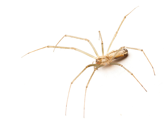 A long jawed orbweaver collected from the vegetation
