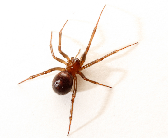 False black widow, collected from the washroom