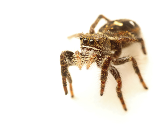 Phidippus johnsoni, our largest jumping spider, commonly found at Iona