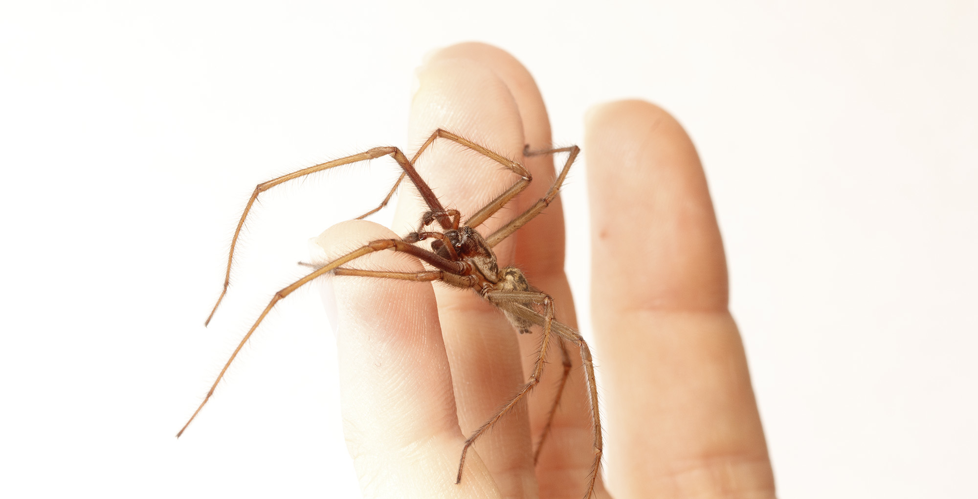 giant_house_spider_hand_large