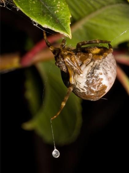 bolas_spider_Mastphora_cornigera_Matt_Coors