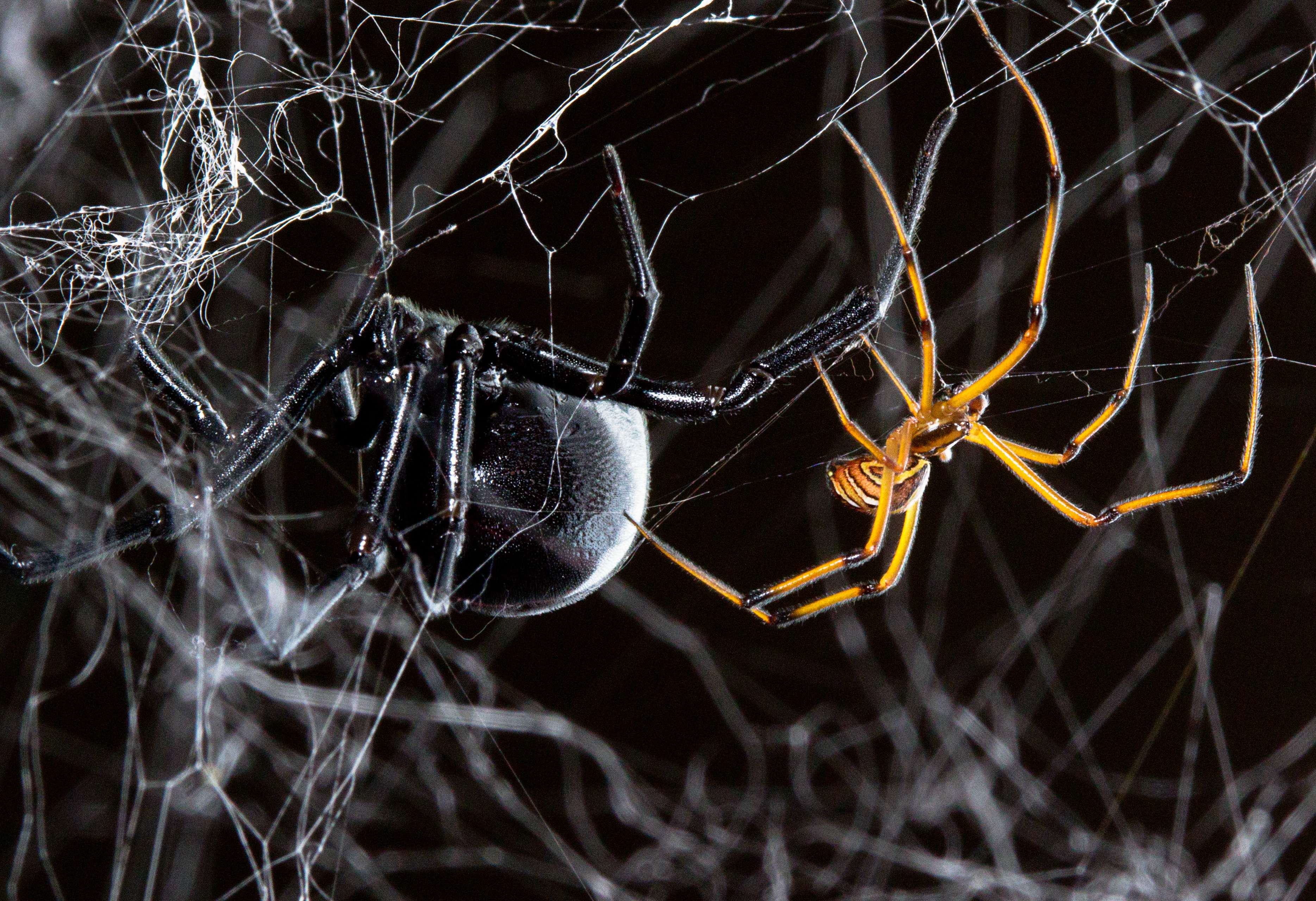 Black Widows Are Sexually Dimorphic The Familiar Female Is On Left And Much Smaller More Brightly Coloured Male Right