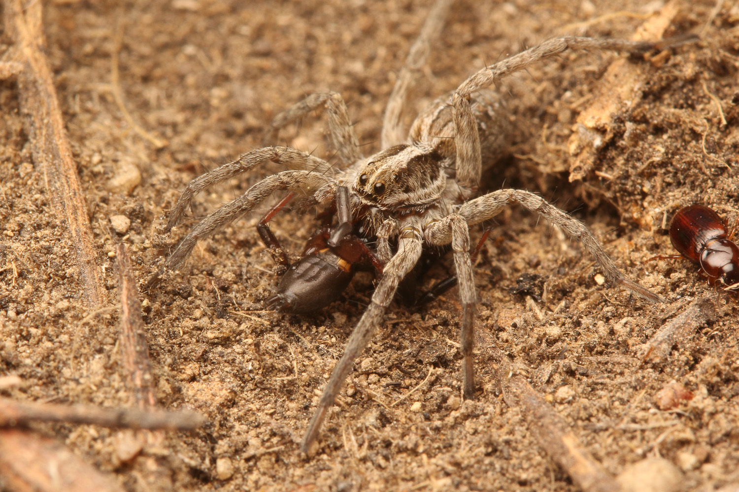 What Do Wolf Spiders Eat >> Who Eats Spiders Spiderbytes