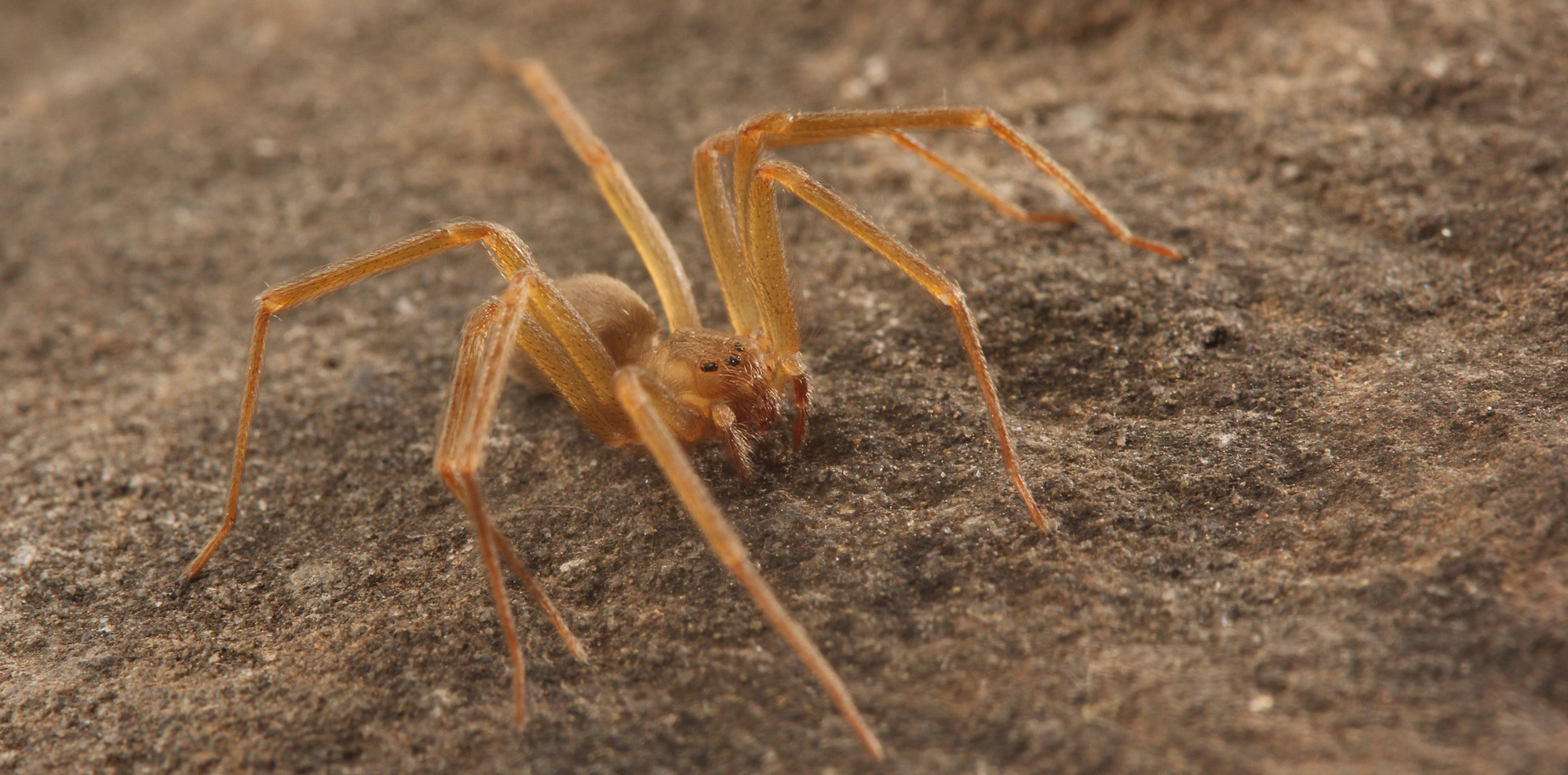 Spiders Seem To Be Getting More >> How To Tell If A Spider Is Not A Brown Recluse Spiderbytes