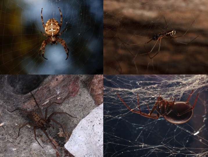 How to tell if a spider is not a brown recluse | spiderbytes