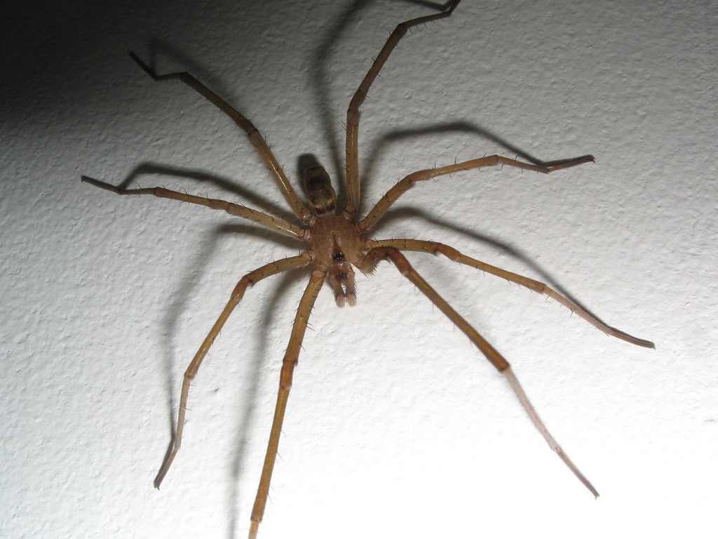 Southern_house_spider_Sam_Heck