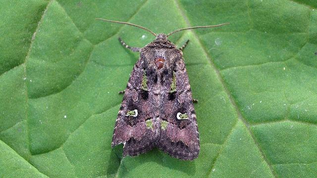 bristly_cutworm_moth_AndyReago&ChrissyMcClarren