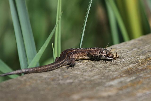 Lizard_eating_spider_Jo_Garbutt