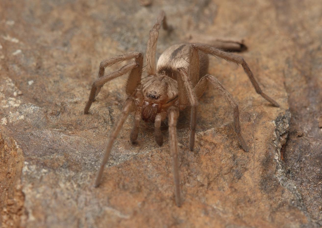 Sac_spider_IMG_9934