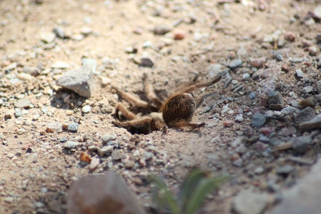Spider_wasp2_David_Crummey