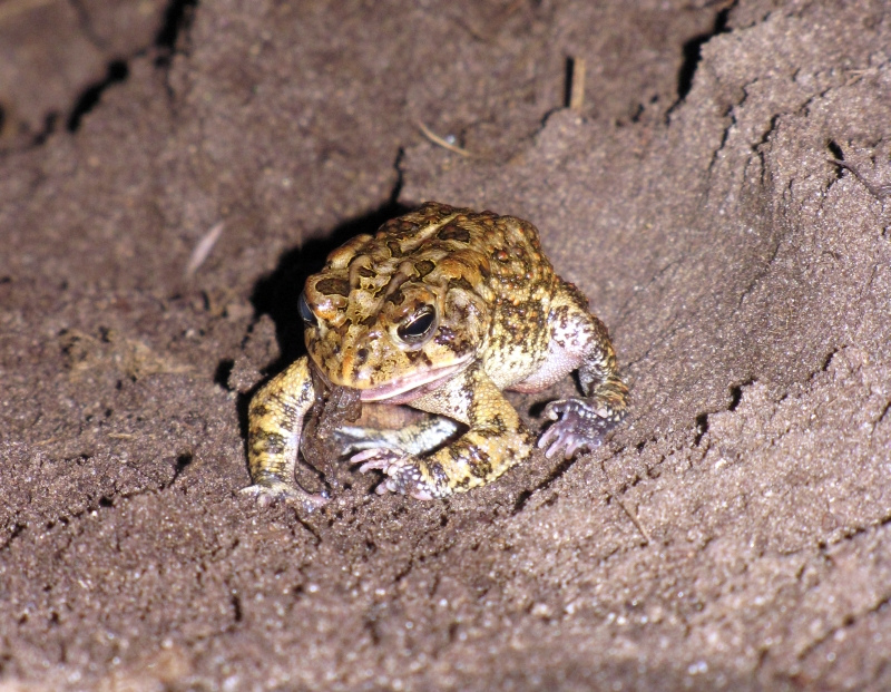 toad_eating_spider_Scott_Beazley