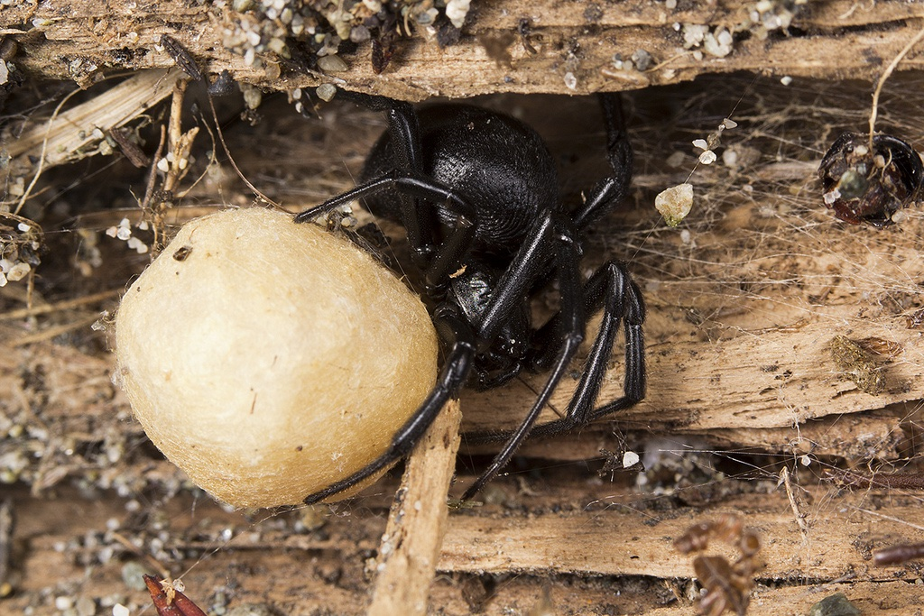 widow_eggsac