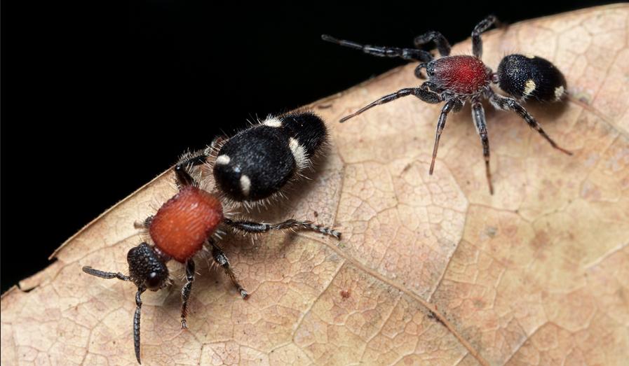 Graptartia_granulosa&velvet_ant_PaulBertner