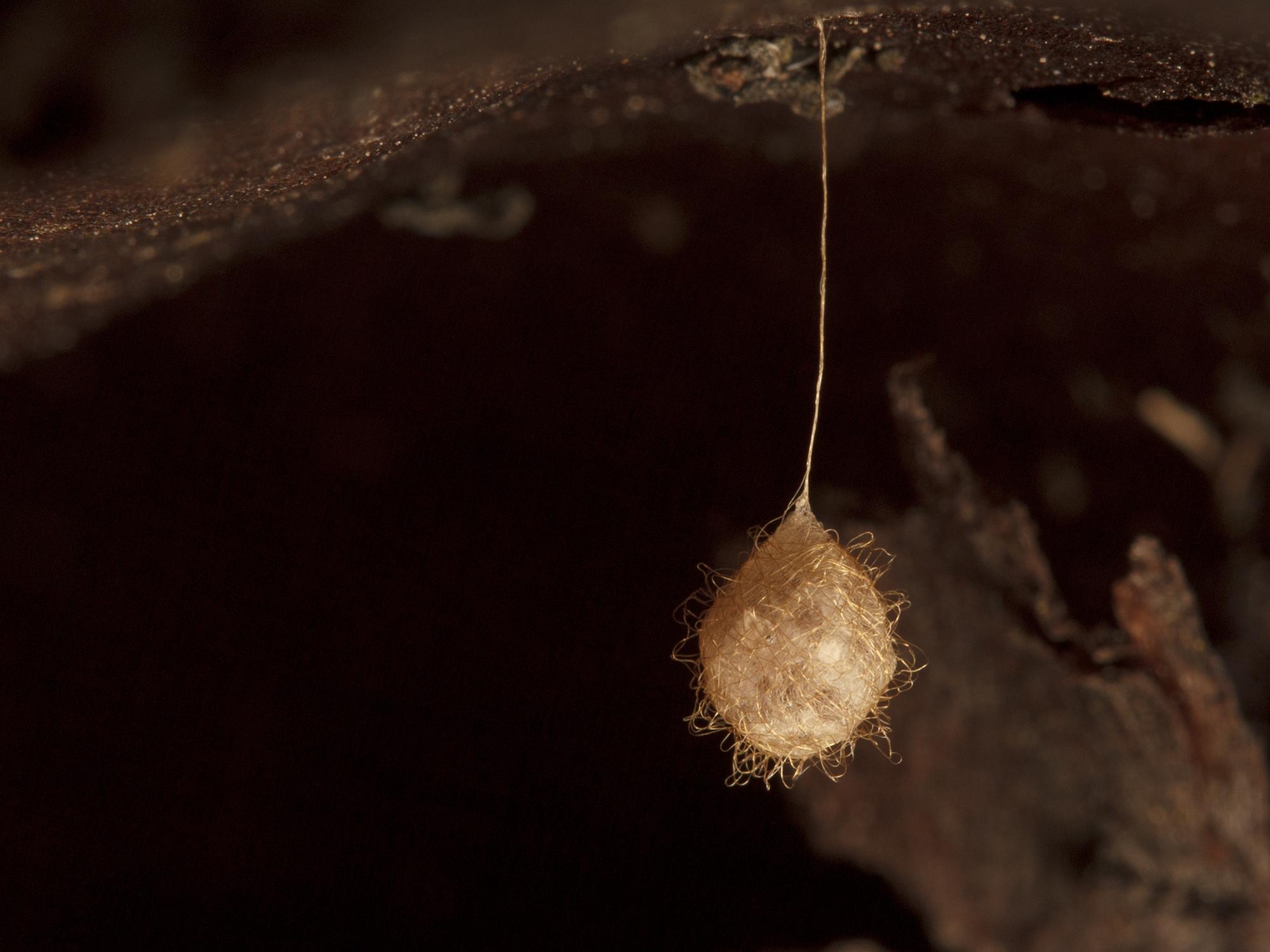 Mimetidae_egg sac