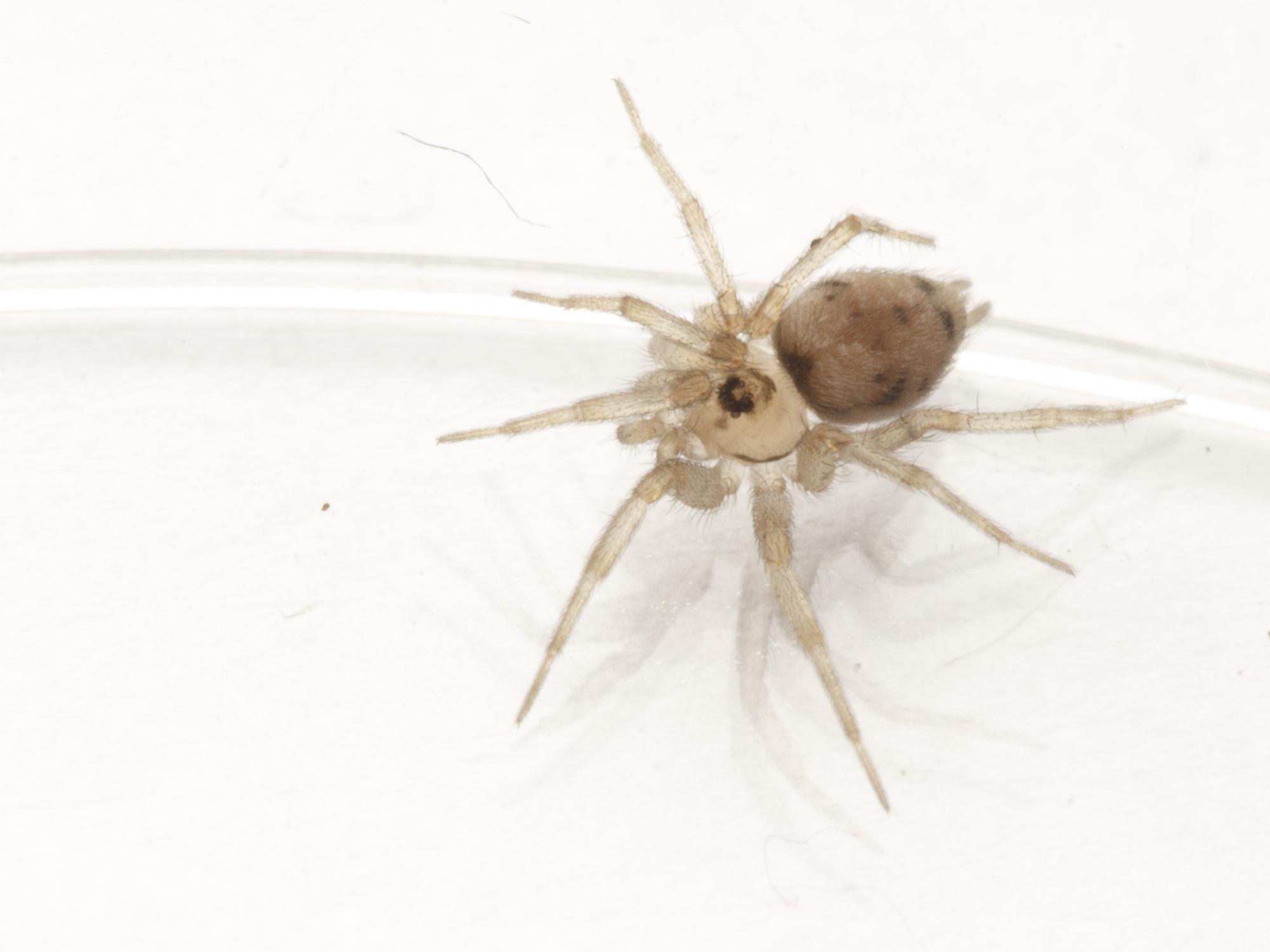 Oecobiidae_Oecobius_sp081915IMG_9991